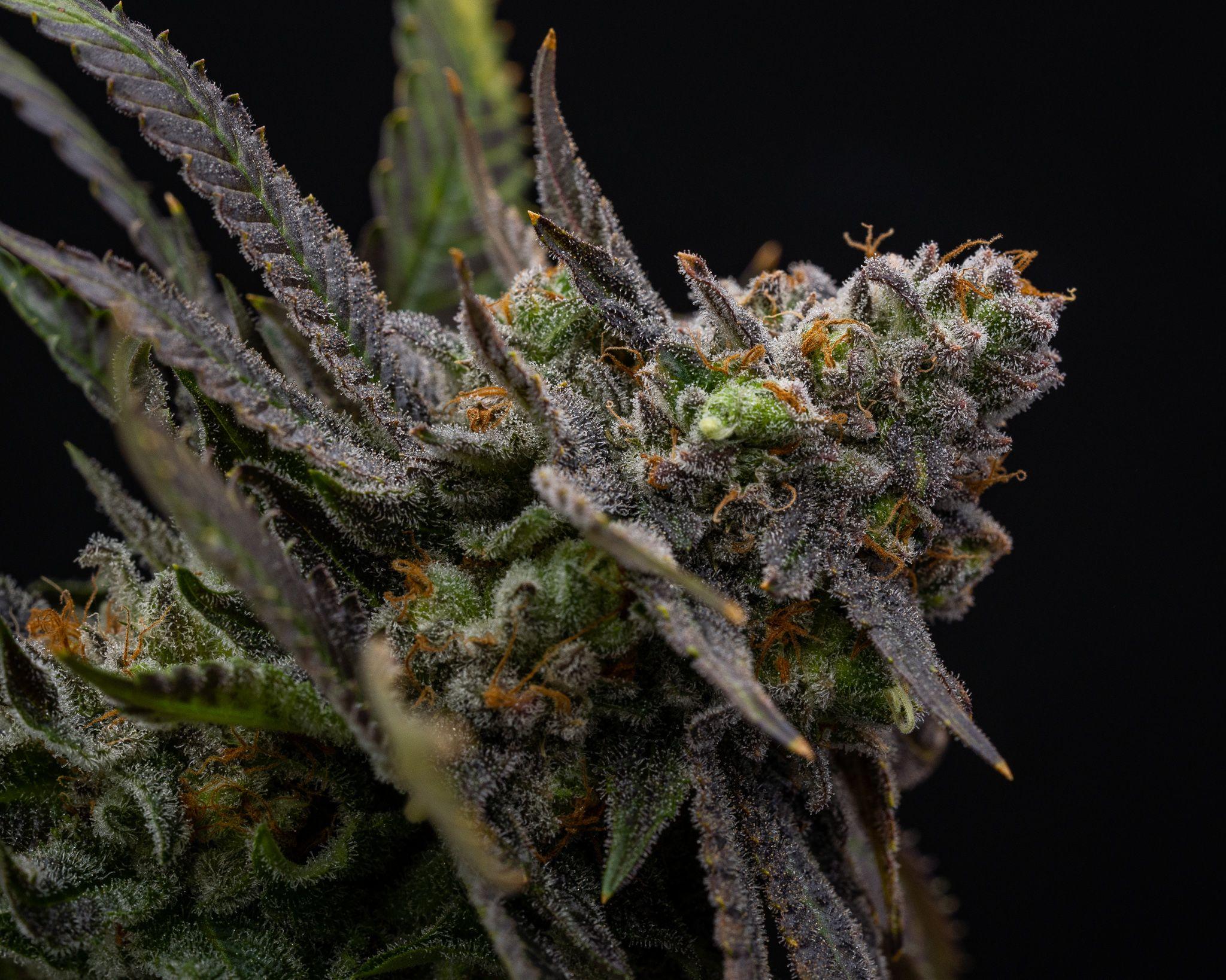 top-shelf cannabis