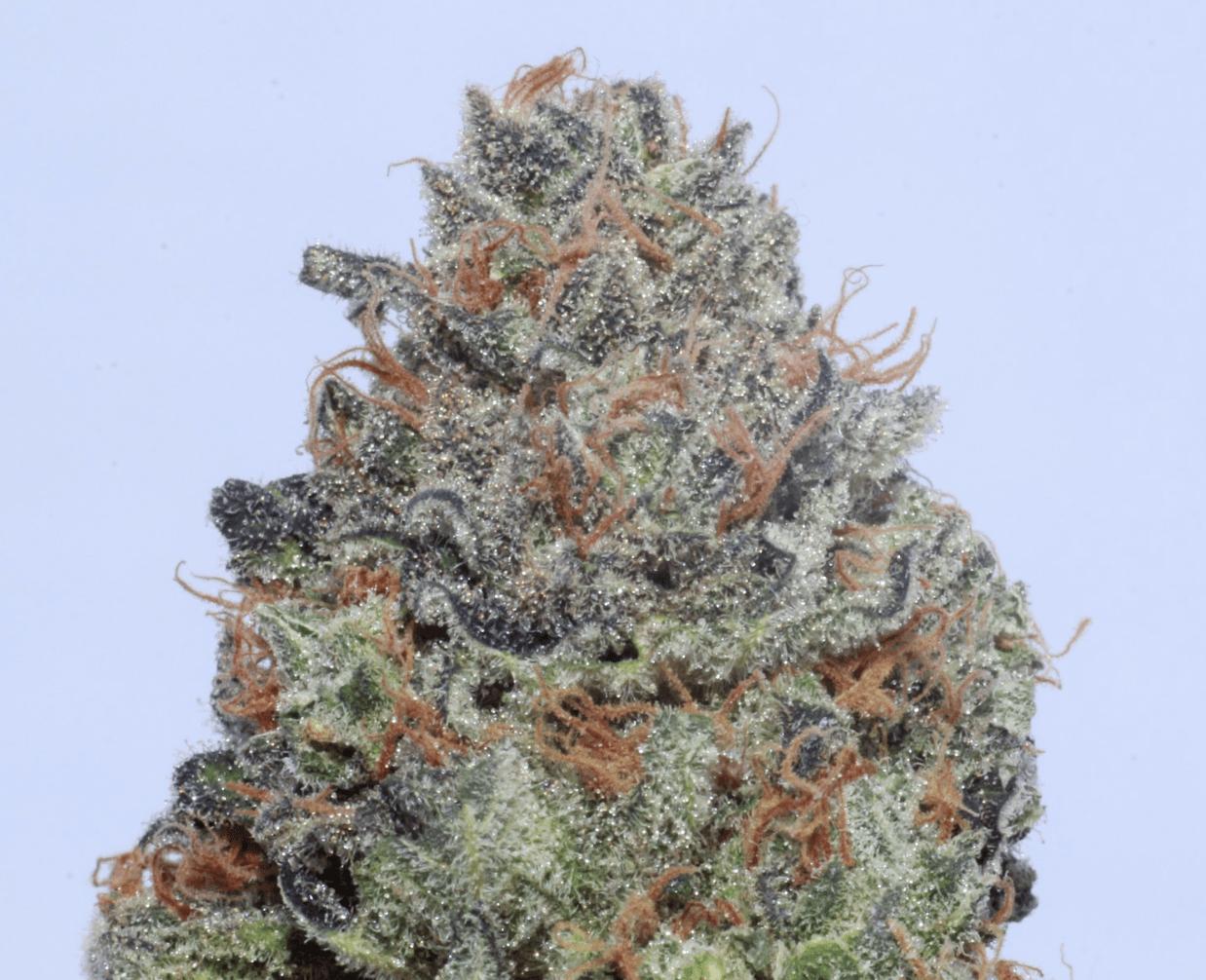 Maine Cannabis Shop